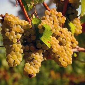 Casta #1 Chardonnay