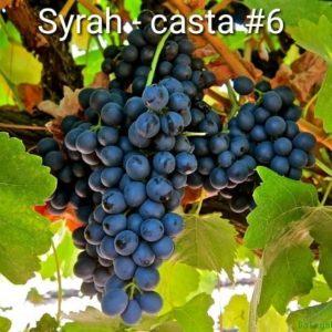 Série Castas – #6 Syrah