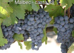 Série Castas – #8 Malbec